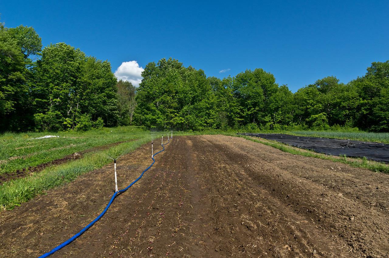 irrigating a recently transplanted beet planting, as well as some direct seeded lettuce mixes during these hot, dry days, photo by Adam Ford