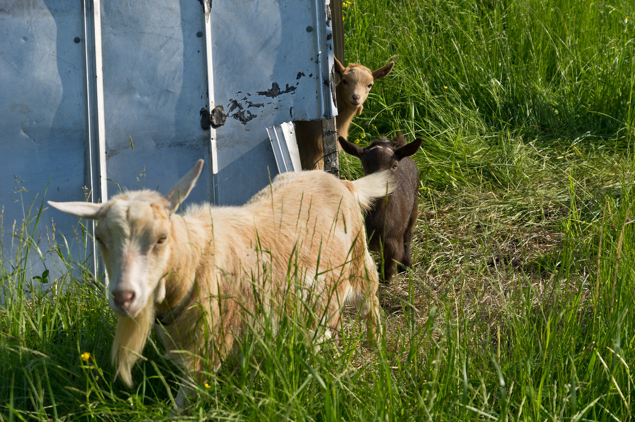 baby goats peaking out from the shed, photo by Adam Ford