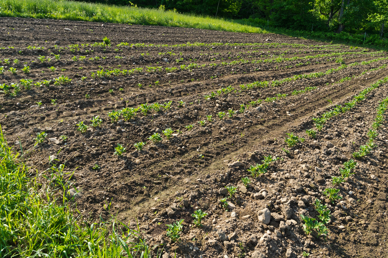 the potato field is growing well, photo by Adam Ford