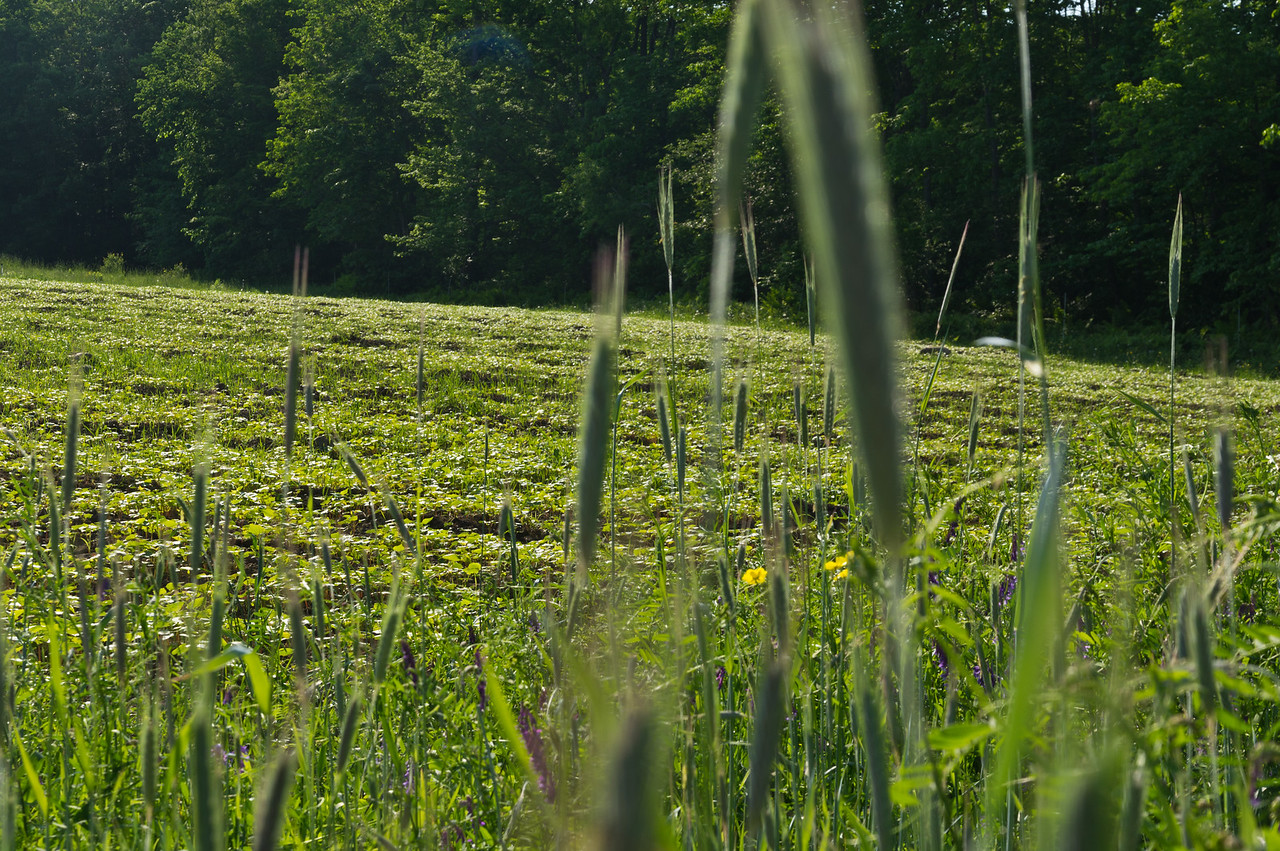 a field of cover crops growing nicely, photo by Adam Ford