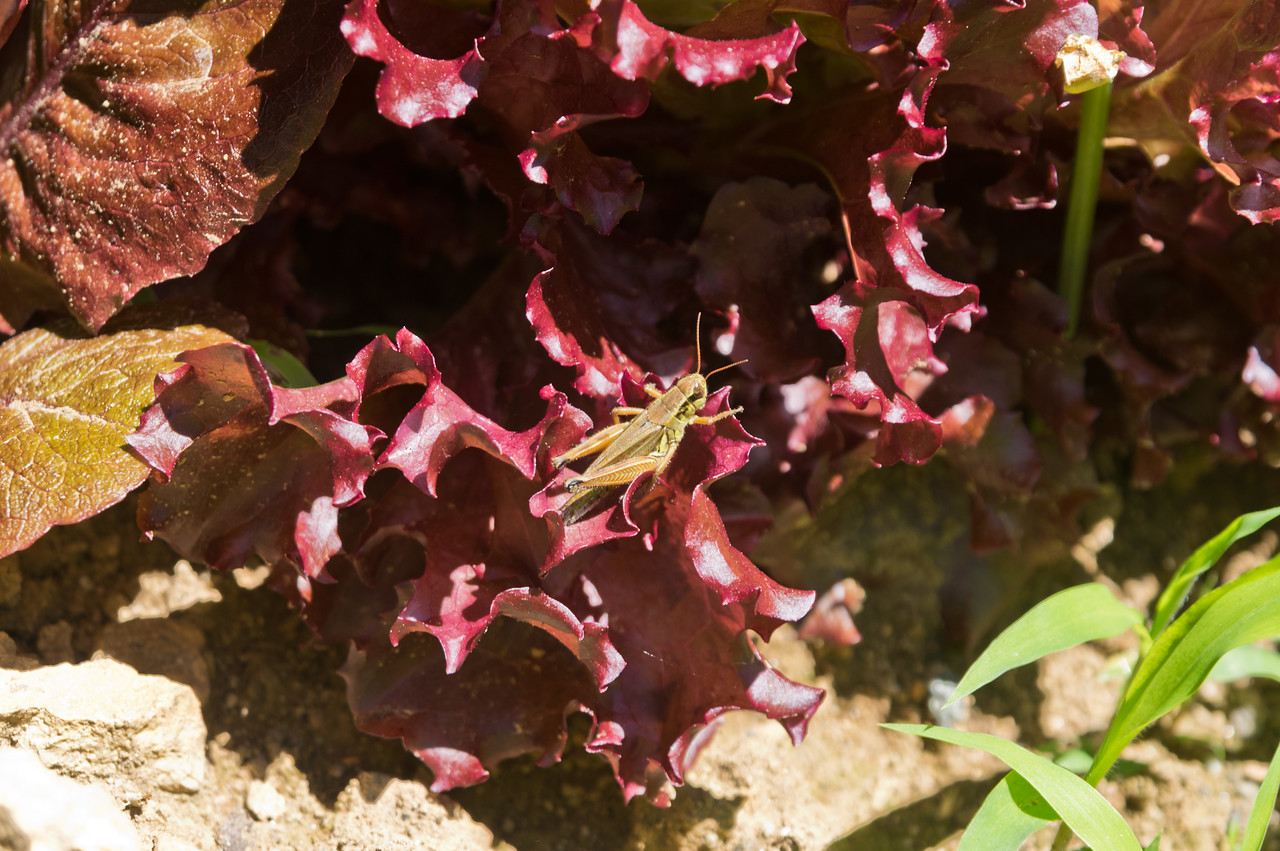 Check out THAT biodiversity:) Grasshopper in the lettuce, photo by Adam Ford