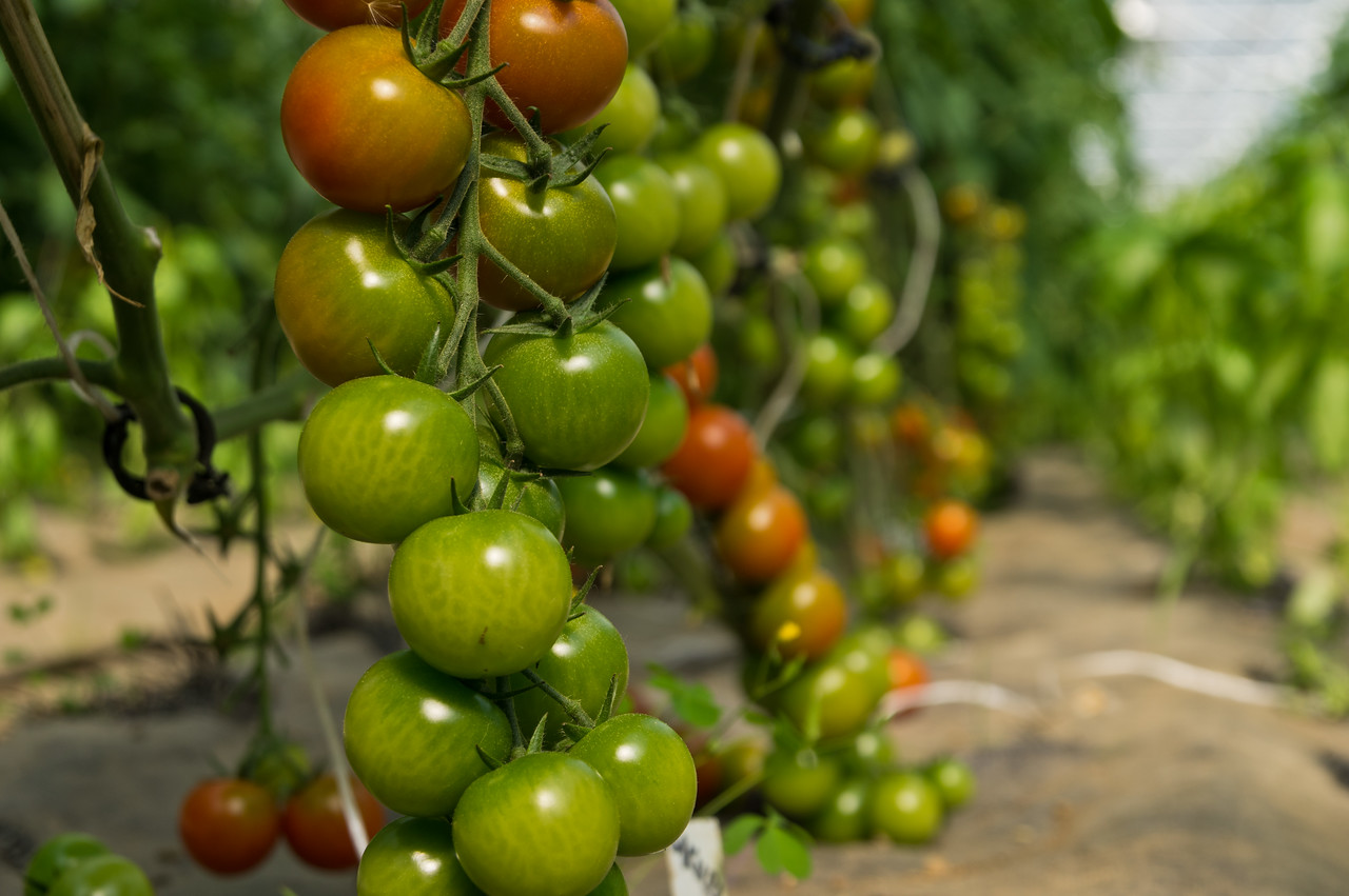 ripening cherry tomatoes on the vine, photo by Adam Ford