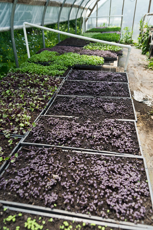 microgreens in different stages of growth in the propagation house, photo by Adam Ford