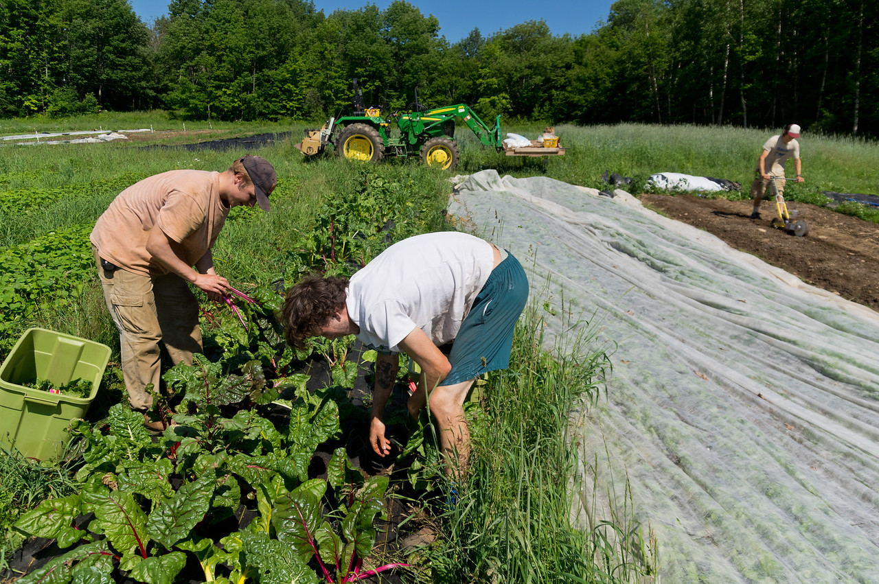 Sam and Shain bunching rainbow chard, photo by Adam Ford