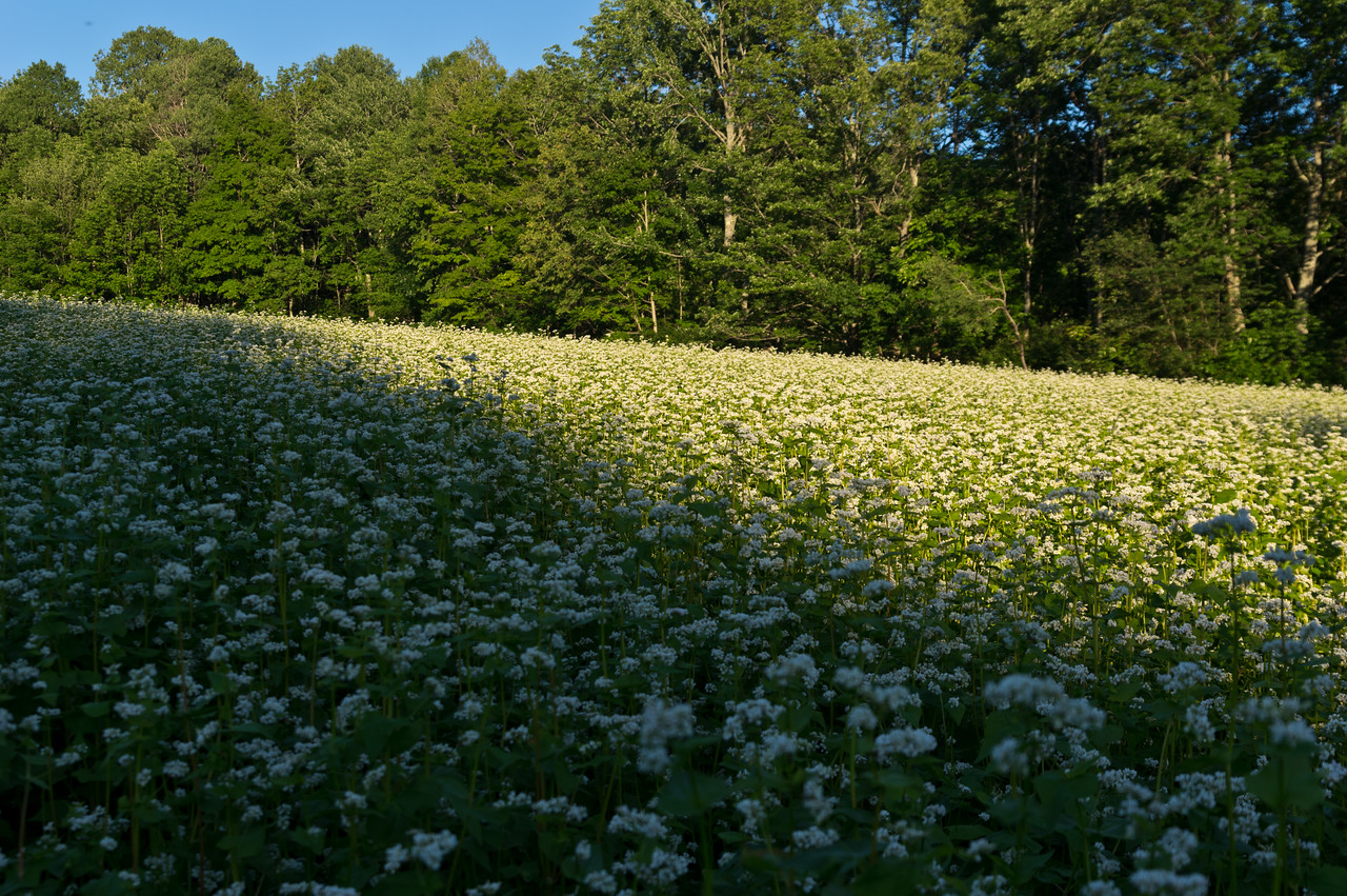 I love walking by the buckwheat cover crop and listening to the buzzing of busy honey bees... I also love knowing their commute is shortened when it's in bloom! photo by Adam Ford