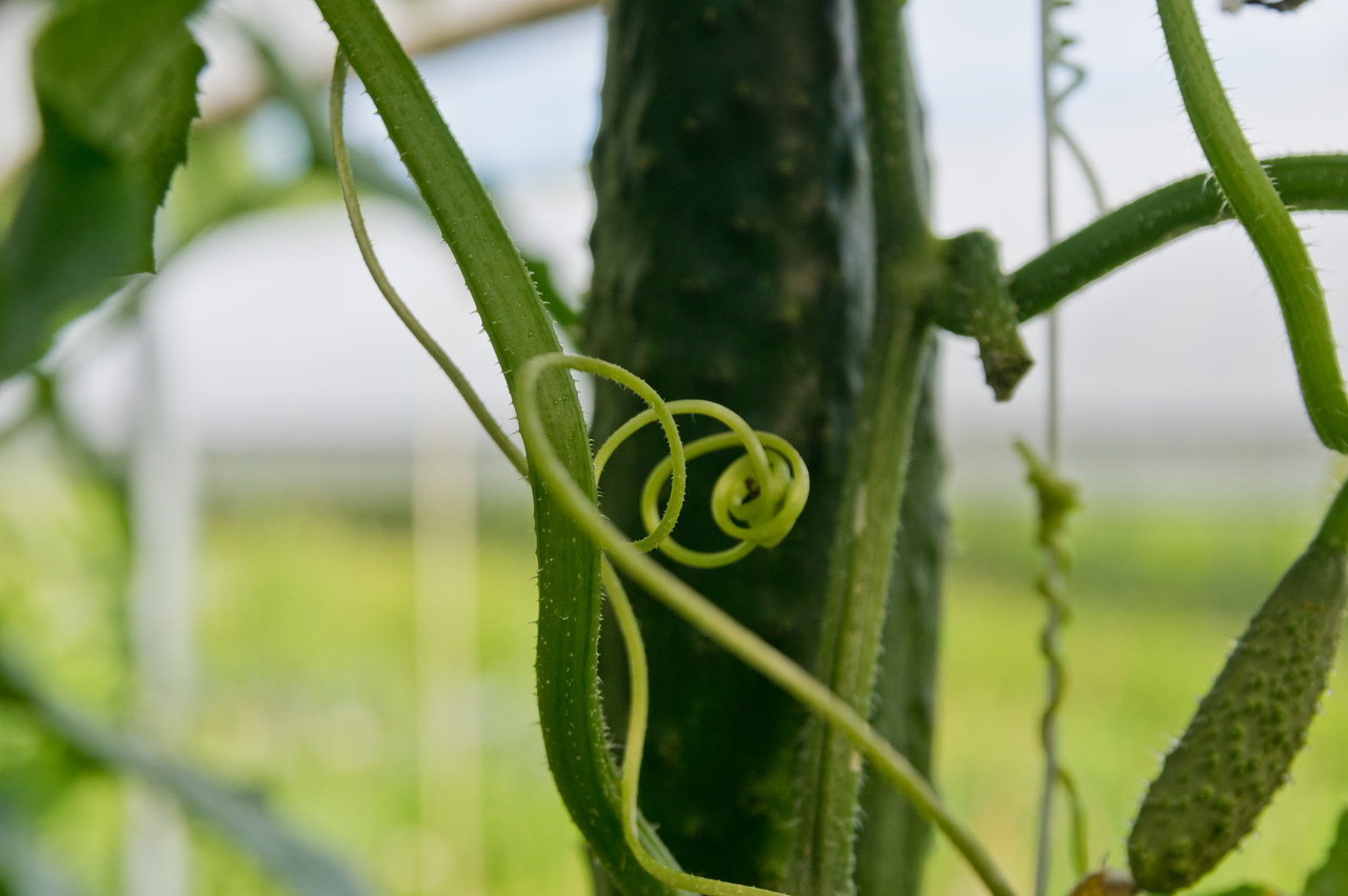 I can never get enough pictures of plant tendrils, photo by Adam Ford