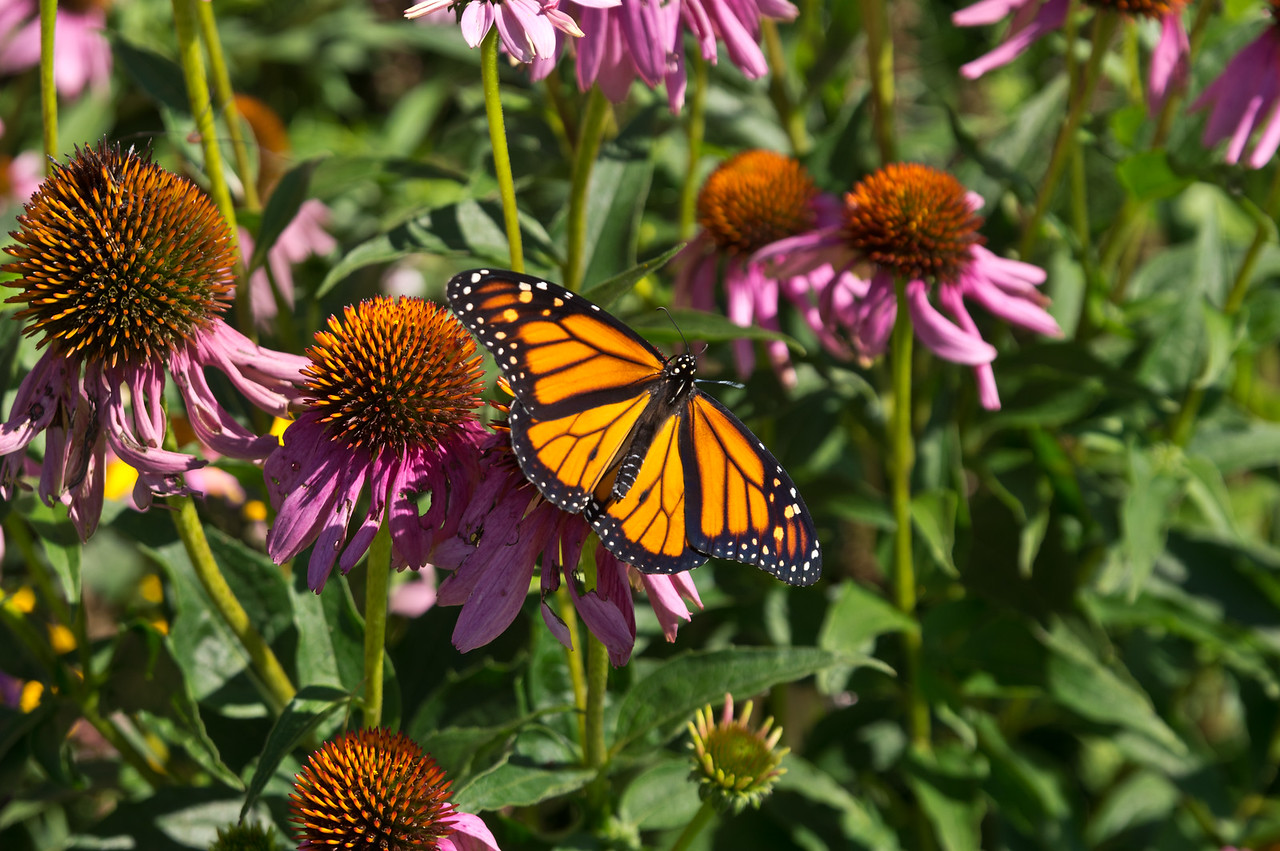 It's always exciting to see a monarch, photo by Adam Ford
