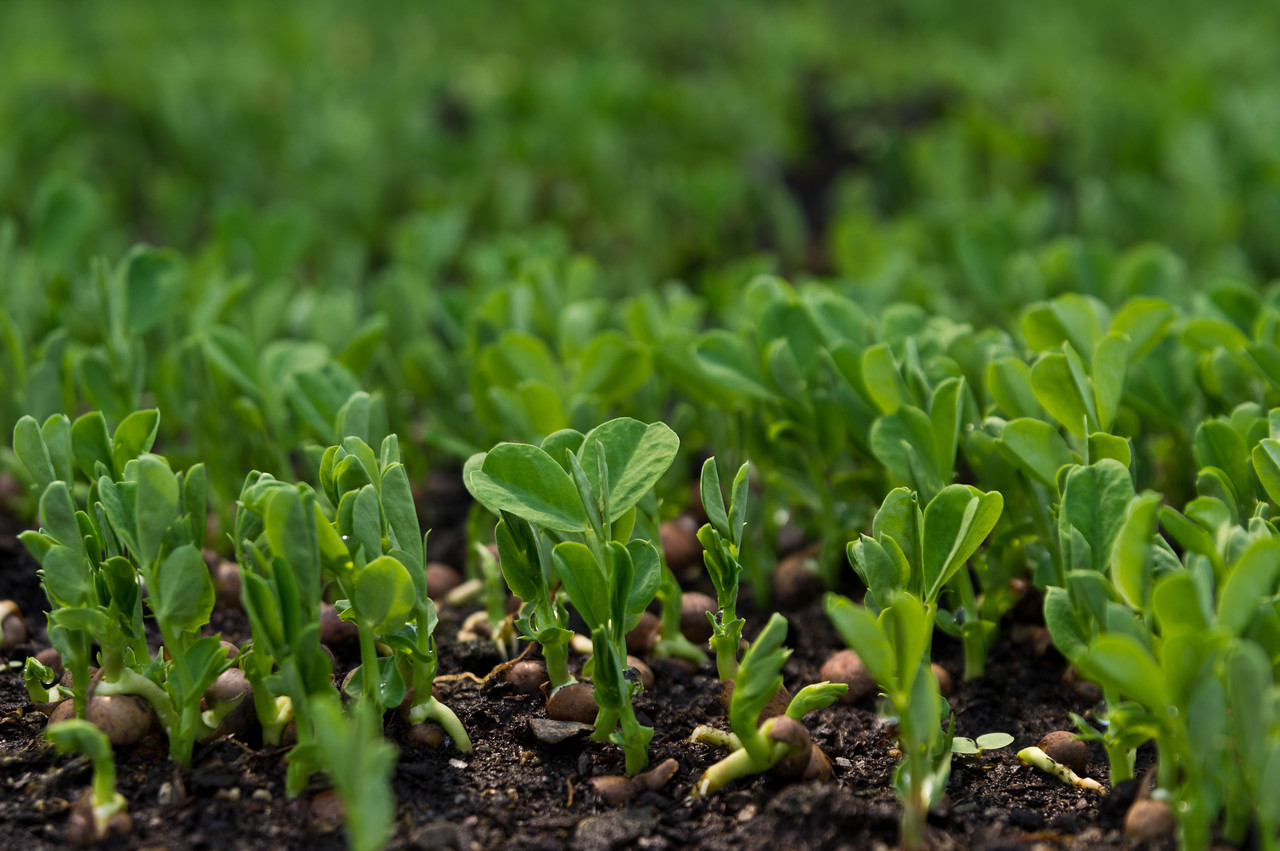 This picture of pea shoots kind of looks like a well organize pea shoot choir singing to the rest of the green house, photo by Adam Ford
