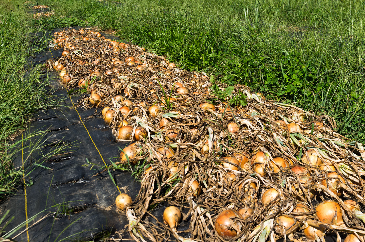 curing onions, photo by Adam Ford