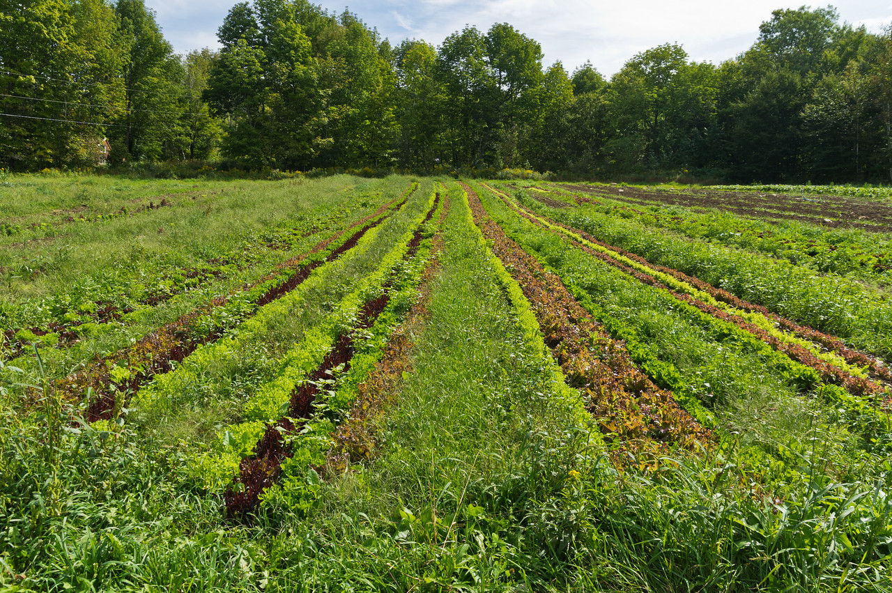 fall lettuce plantings, photo by Adam Ford