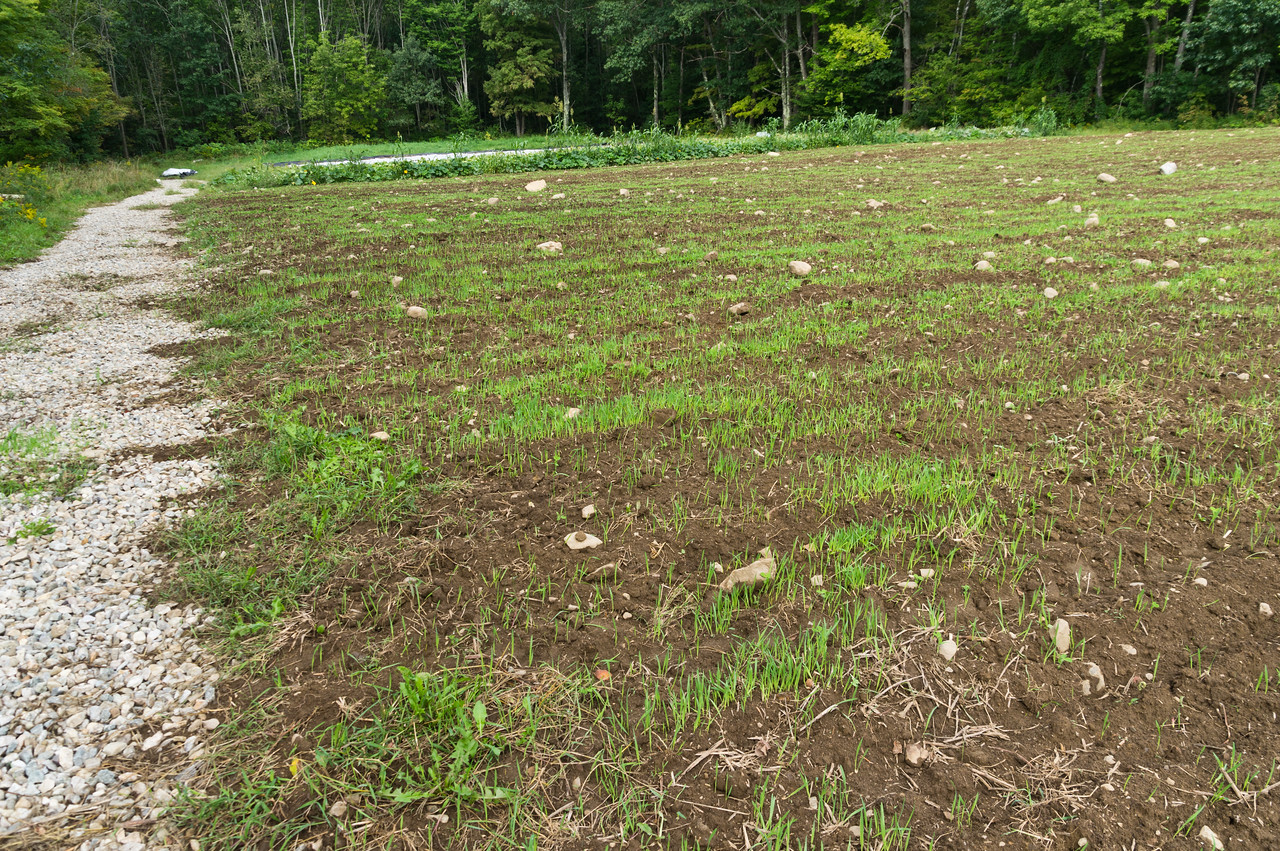 cover crop just emerging from the field, photo by Adam Ford