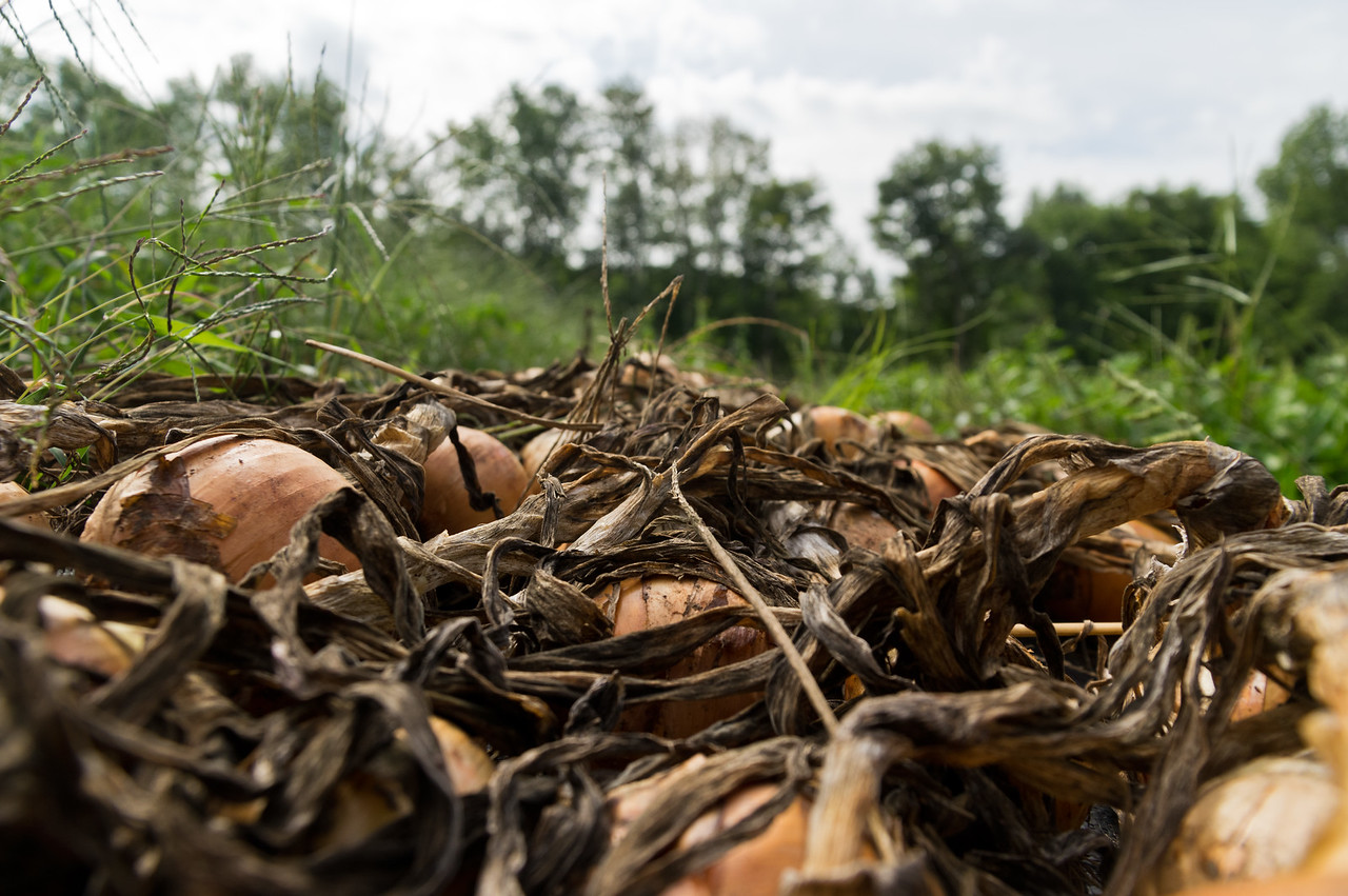 onions waiting to be taken in after field curing, photo by Adam Ford