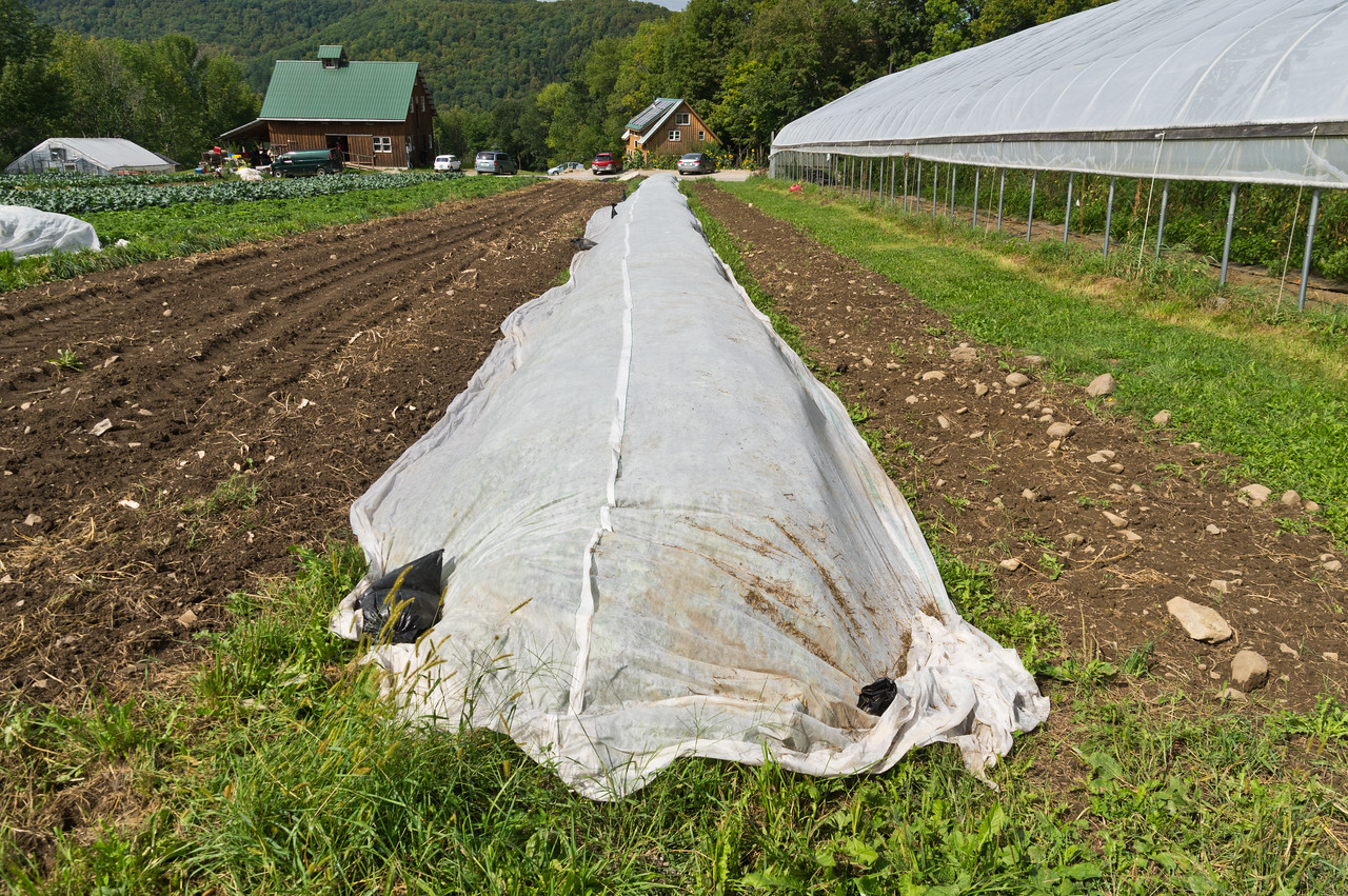 This is a row of fall harvested rutabaga that is row covered to exclude the cabbage maggot which damages the main root of the rutabaga, photo by Adam Ford