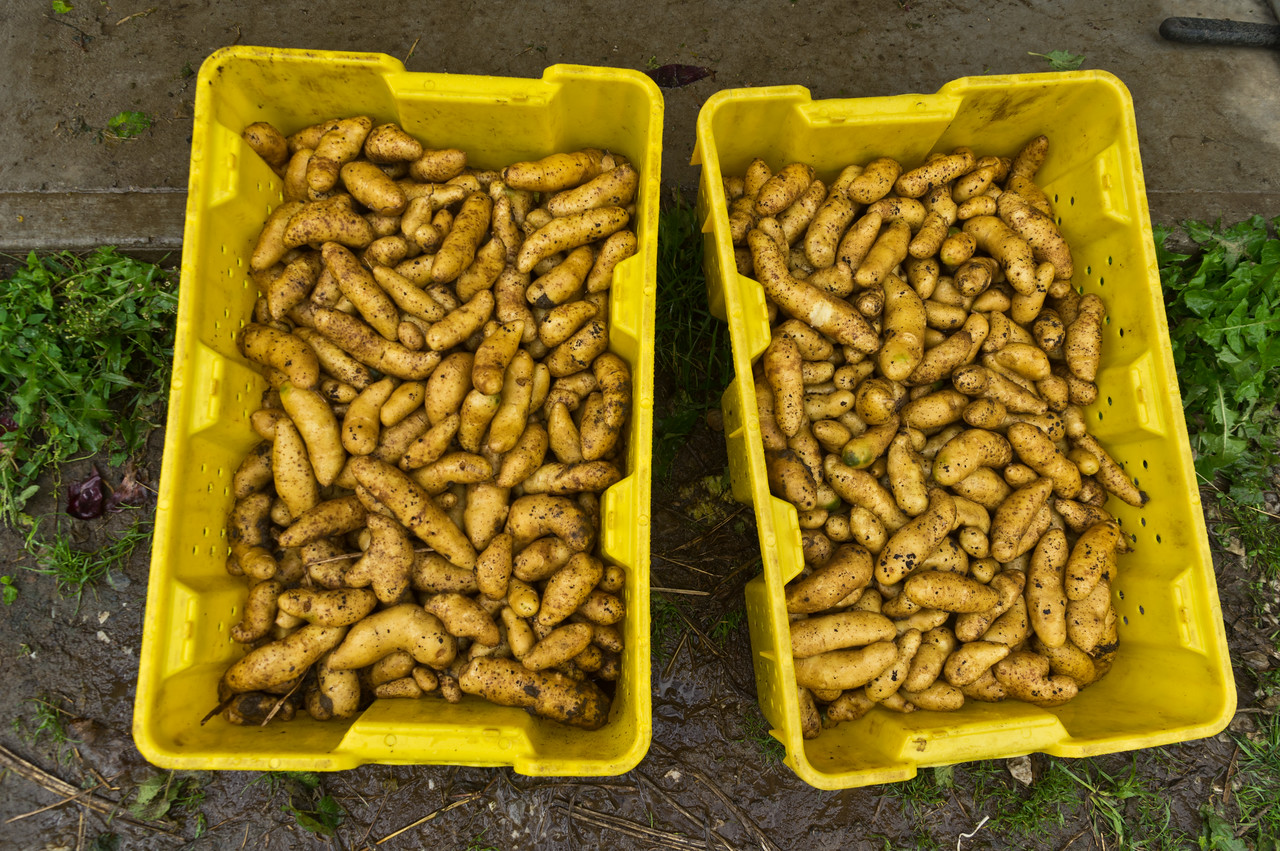 harvested fingerlings, photo by Adam Ford