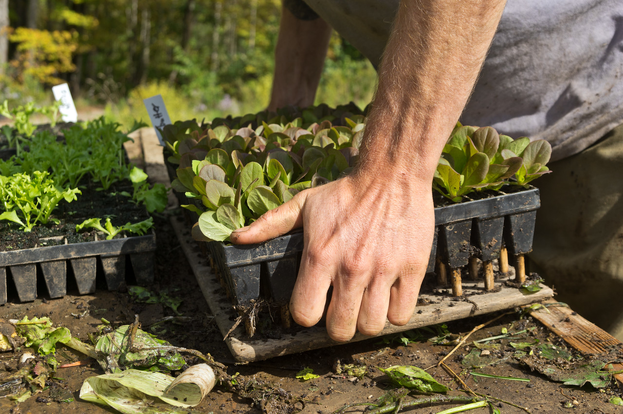 popping lettuce out of trays for transplanting, photo by Adam Ford