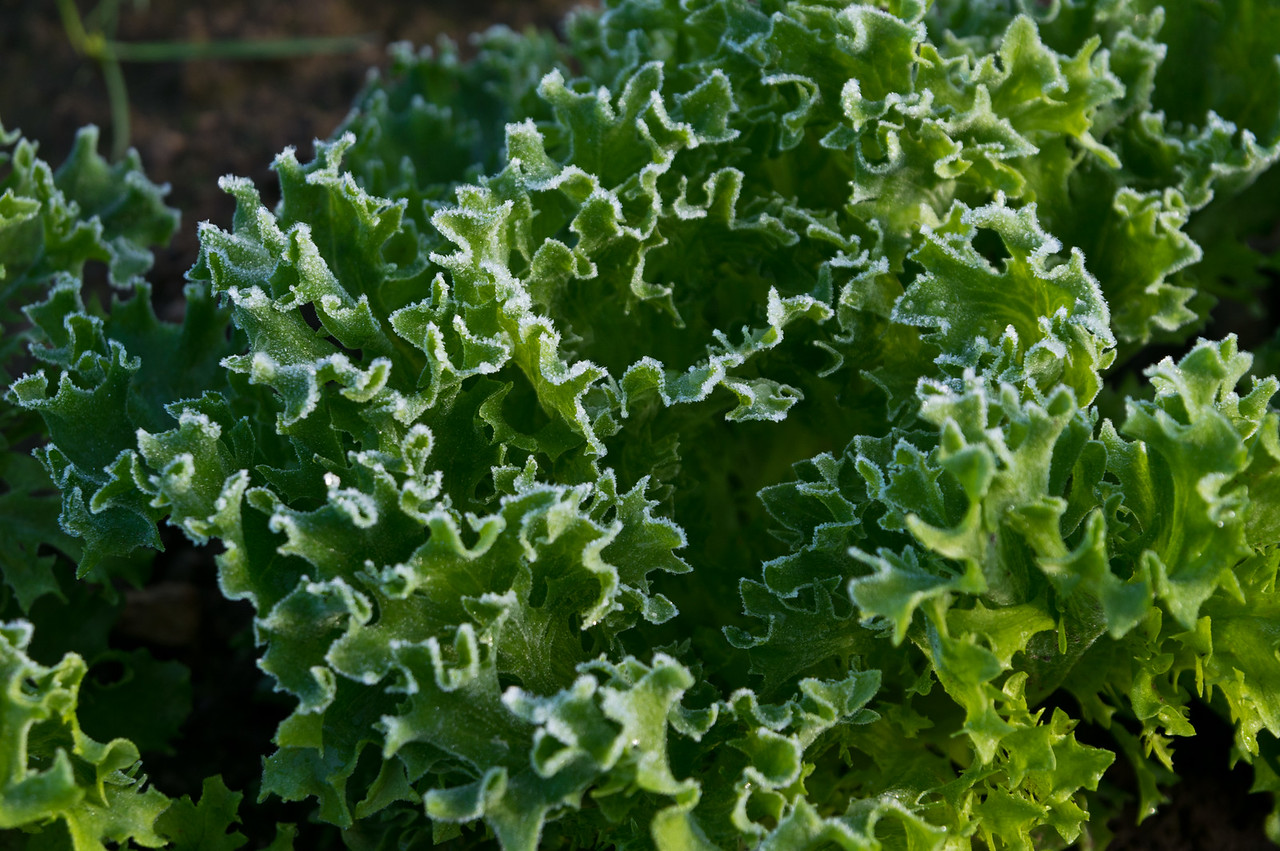 patchy frost on lettuce, photo by Adam Ford