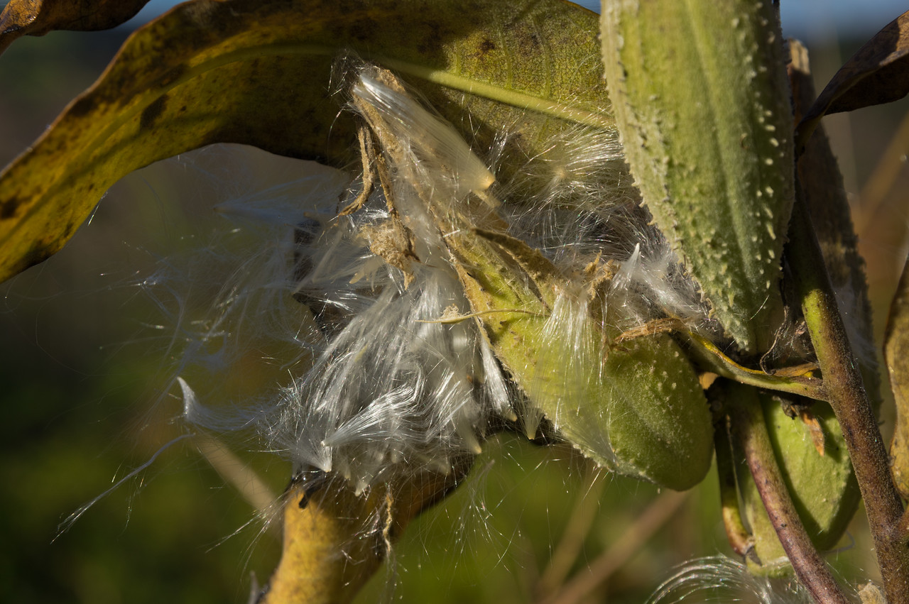 Milkweed, monarch food, photo by Adam Ford