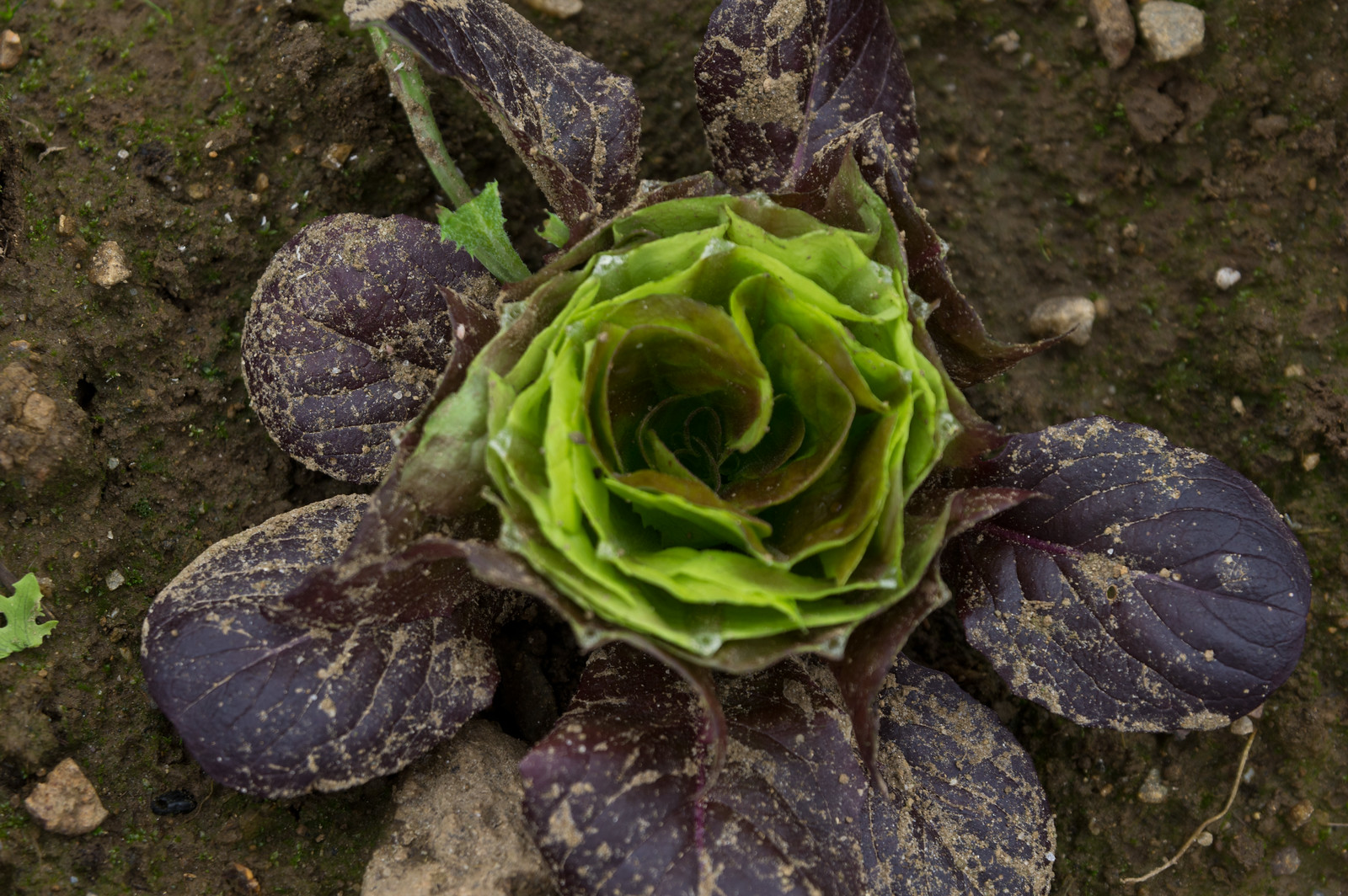 this is what lettuce looks like after it's cut for harvest, photo by Adam Ford