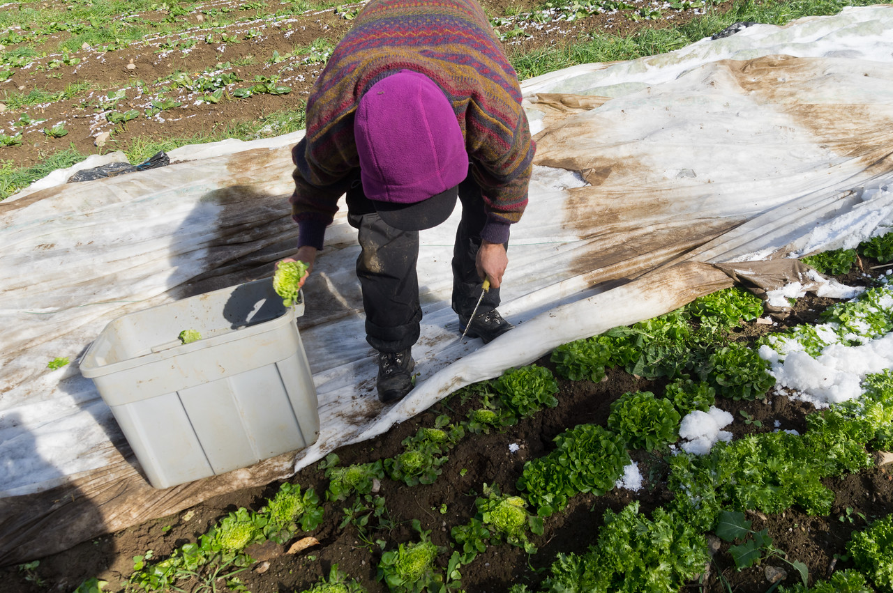Peter harvesting some snowy lettuce, photo by Adam Ford