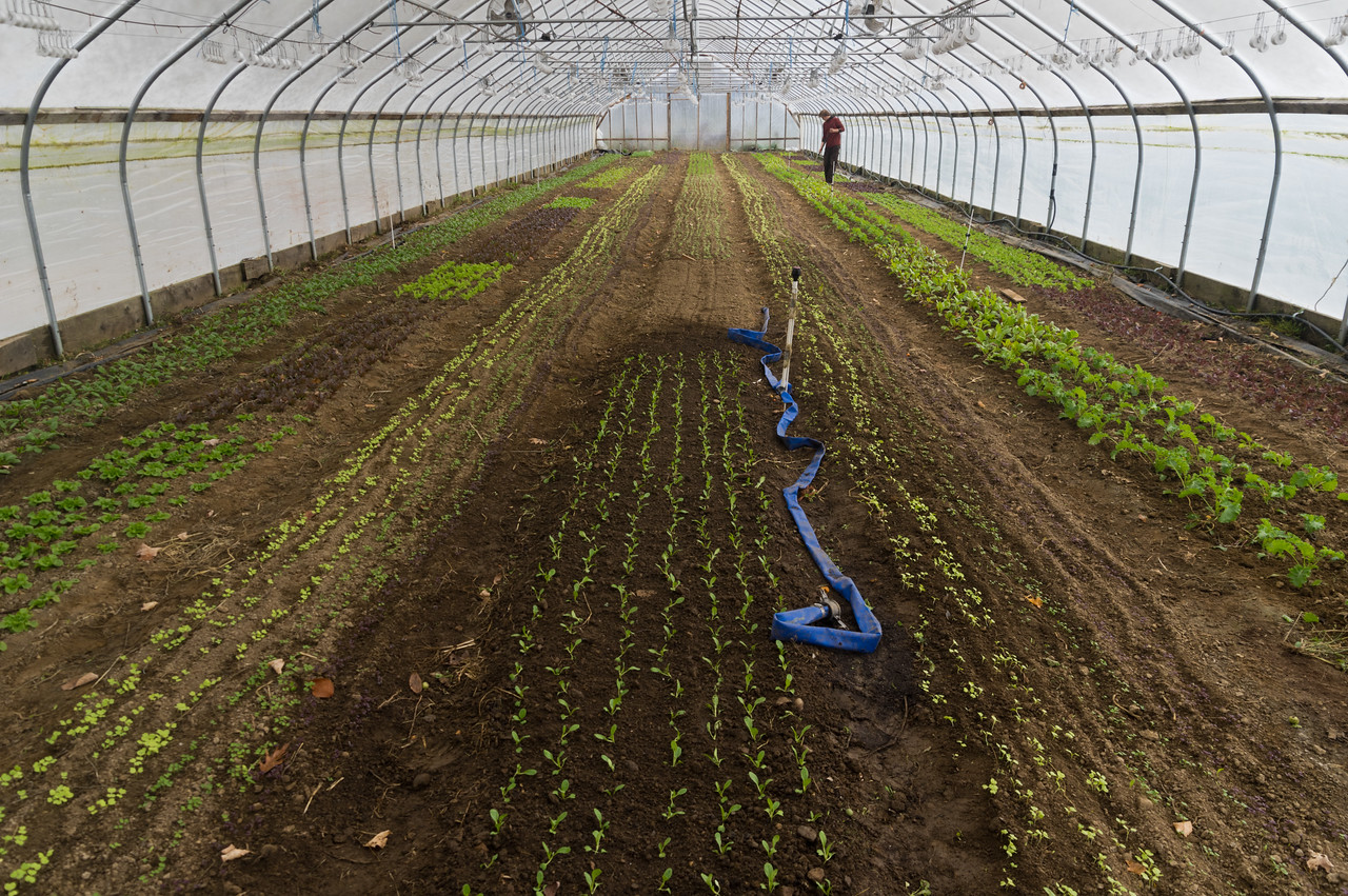 Sam hoeing baby greens in the winter tunnels, photo by Adam Ford