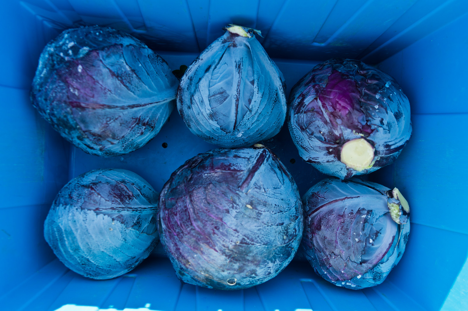 I'm loving the colors of this photo, red cabbage harvested into our blue bins, photo by Adam Ford