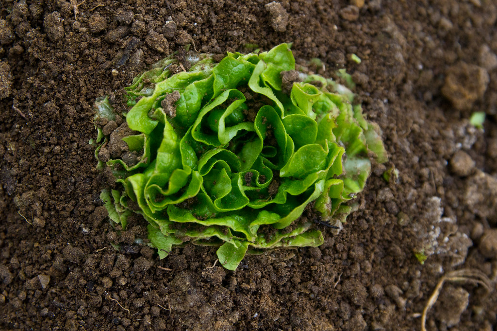 this is what the baby lettuce looks like after it is cut.. you are seeing just the beginning of the regrowth starting. It will take several weeks for this type of green to regrow, so we time each cutting based on making sure we have some greens each week throughout the winter, photo by Adam Ford