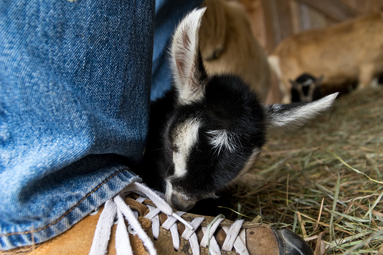 baby goat nibbling Adam's shoe, photo by Adam Ford