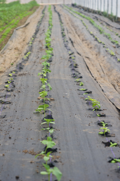 cucumbers are transplanted in the tunnel! photo by Adam Ford