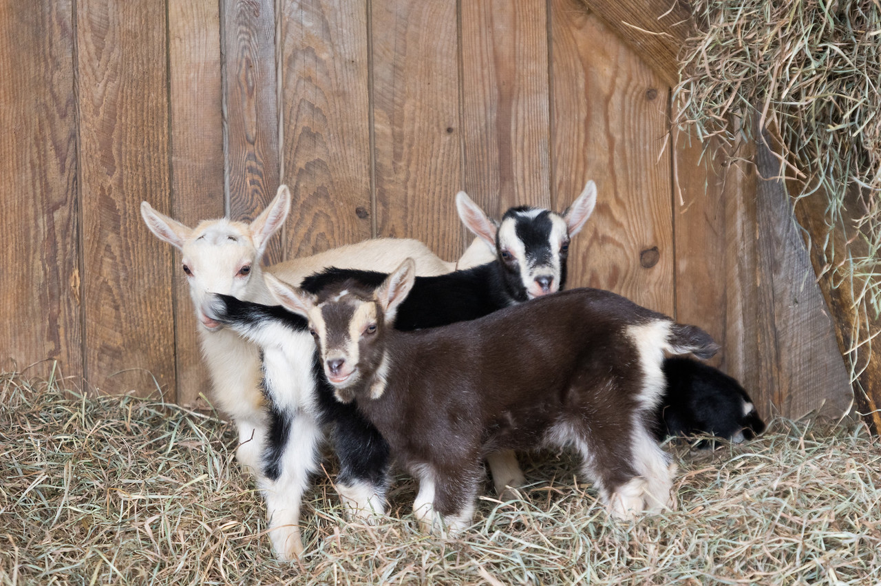 all four baby goats cuddling, photo by Adam Ford