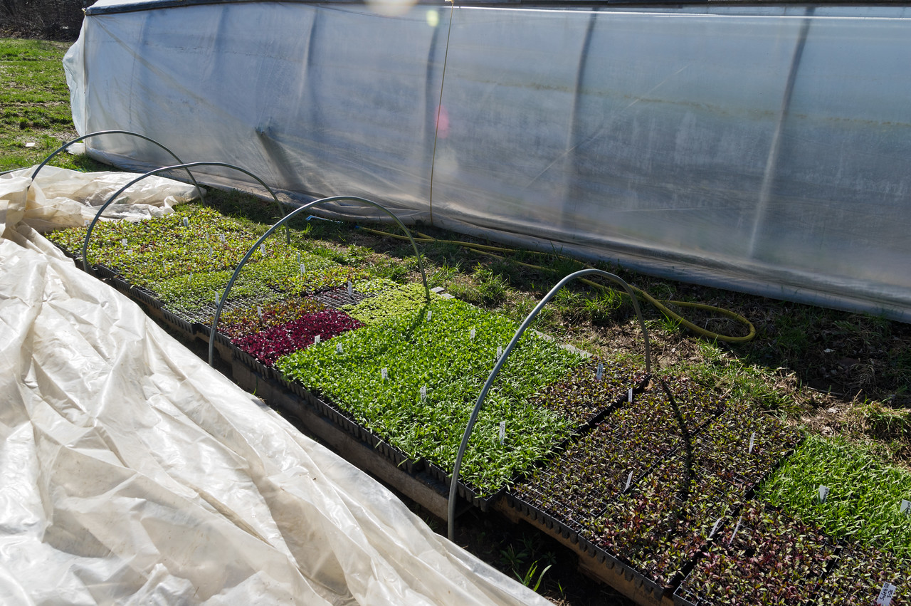 lettuce, beets, spinach, cilantro, and more are waiting in the hardening out zone to be transplanted, photo by Adam Ford