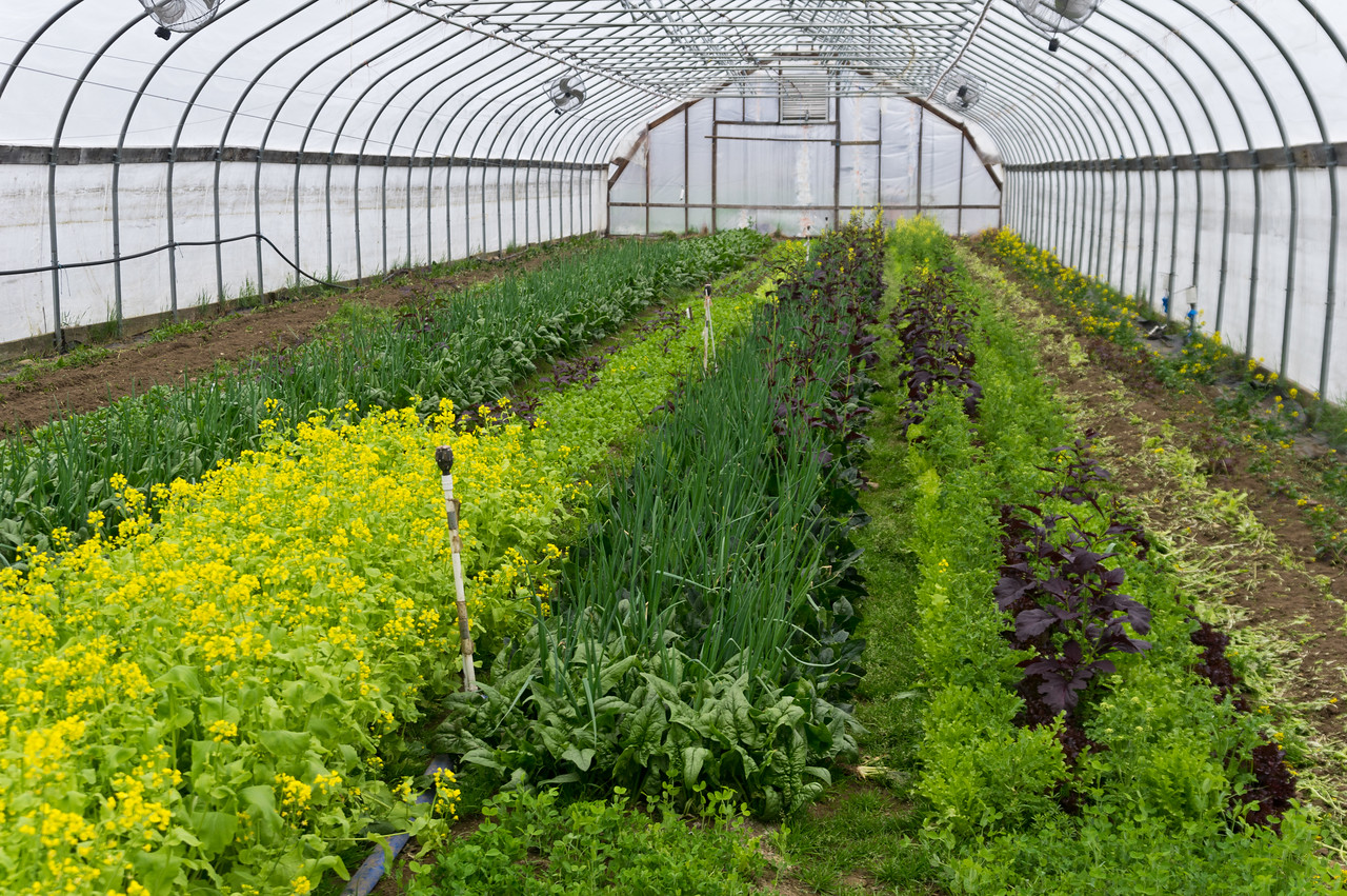 this is the wildness of a spring high tunnel… interplanted overwintered spinach and scallions, old mesclun beds that have flowered and are about to be turned in to plant summer crops, some beds already tilled in, waiting to become green beans, photo by Adam Ford