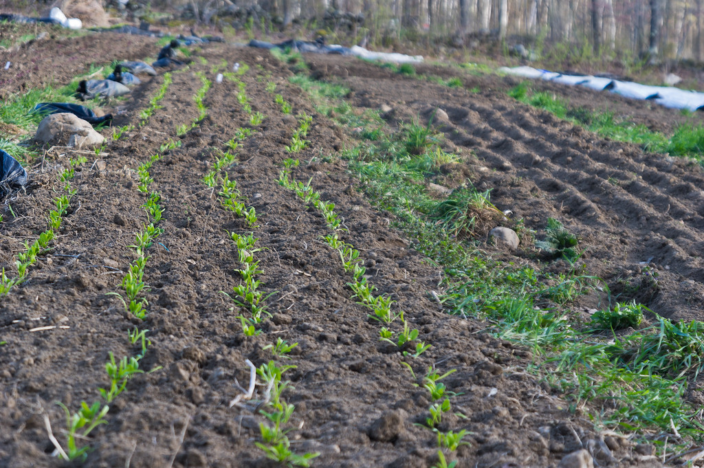 spinach transplants in the field next to a bed of recently seeded baby greens, photo by Adam Ford