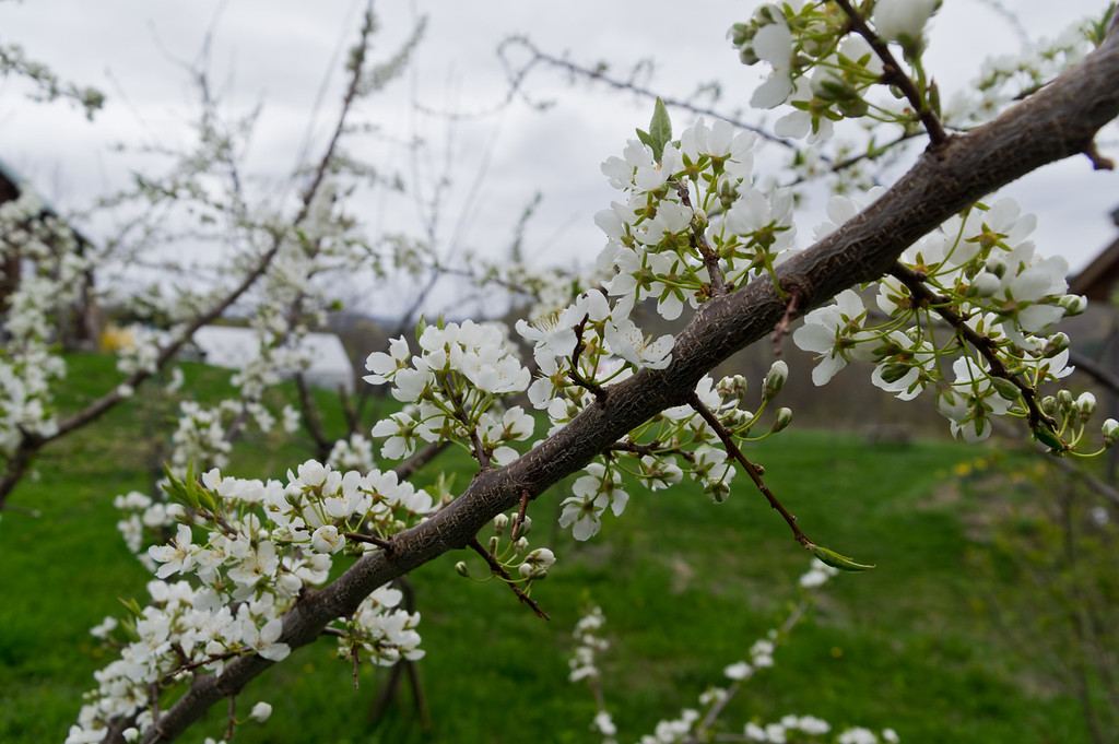plum tree in bloom, photo by Adam Ford