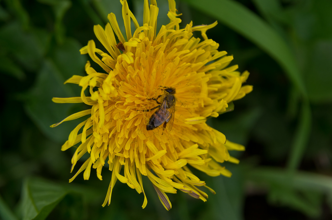 Not much I enjoy more than watching a honeybee collect nectar from a dandelion… I love that flower and that pollinator! photo by Adam Ford