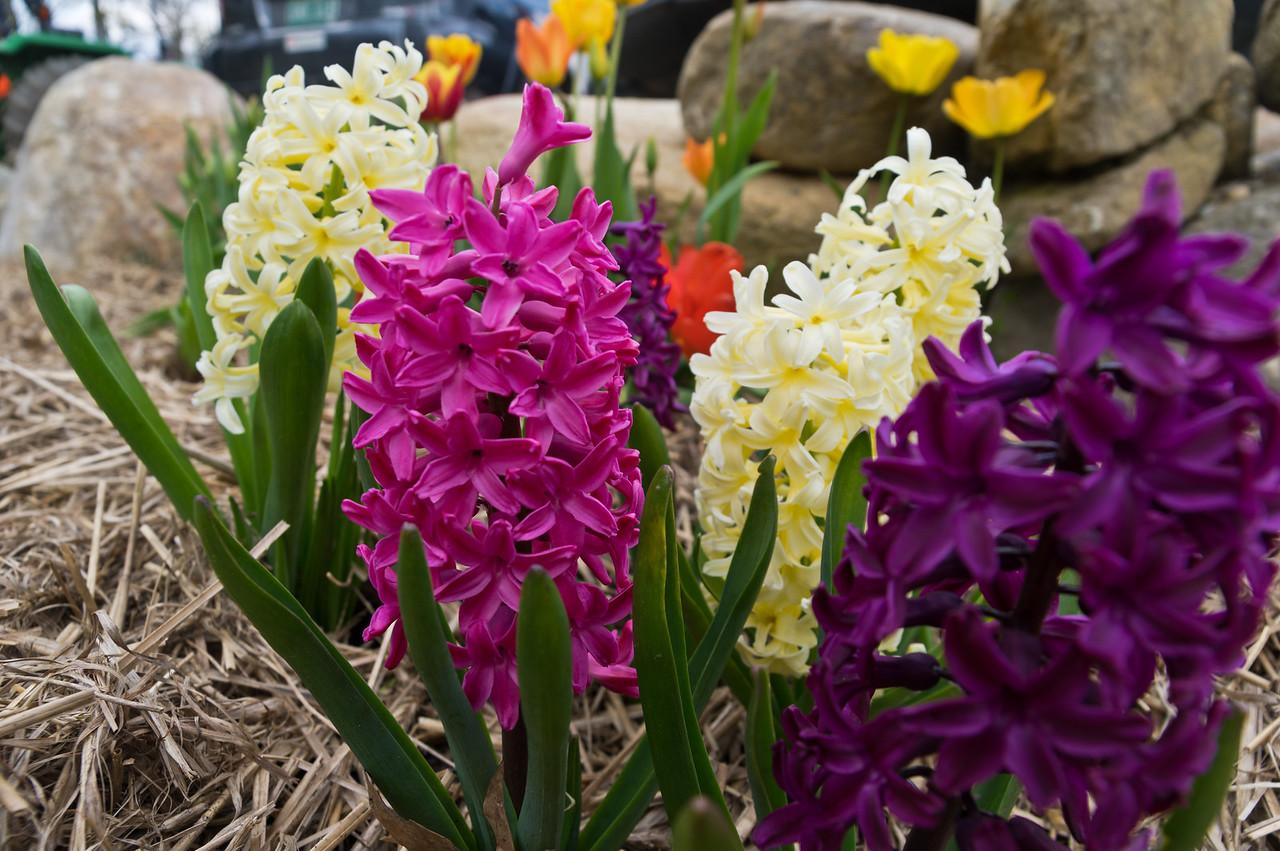 hyacinth, photo by Adam Ford