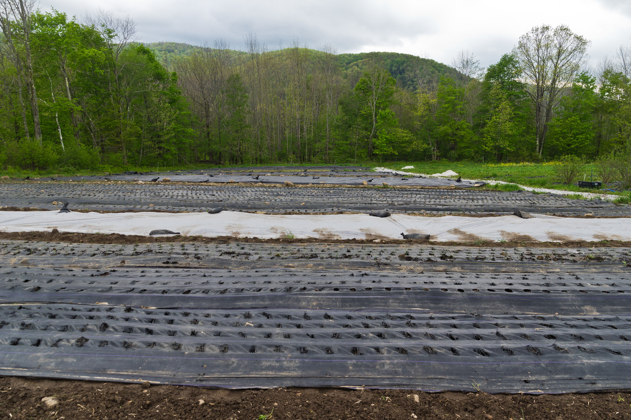 this is what the onion field looks like as we transplant them in. Lots of landscape fabric with holes every 8 inches…. so many onions to do! photo by Adam Ford