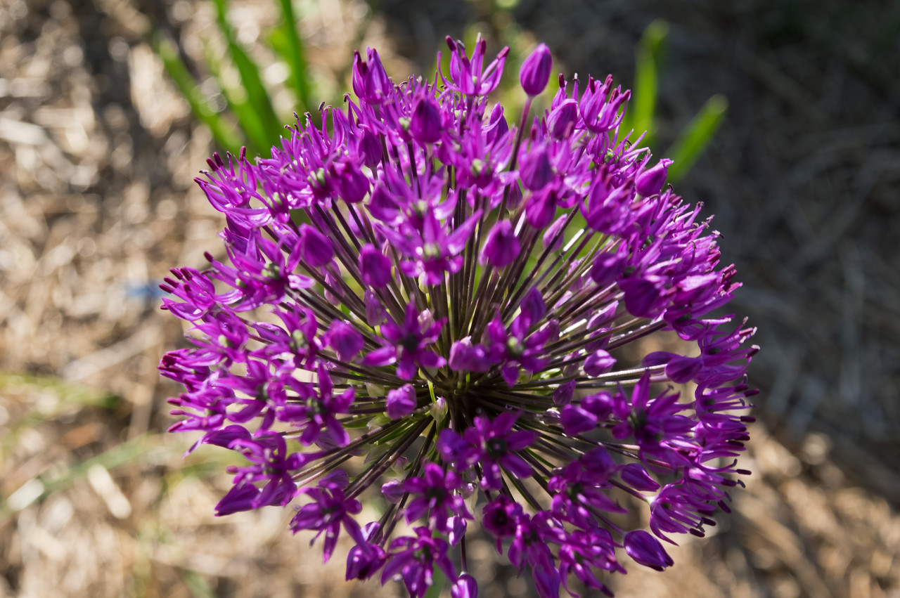 allium flower looking like the amazing firework that it is, photo by Adam Ford