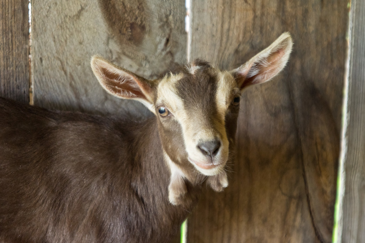 All the baby goats are in their new homes, hooray! photo by Adam Ford