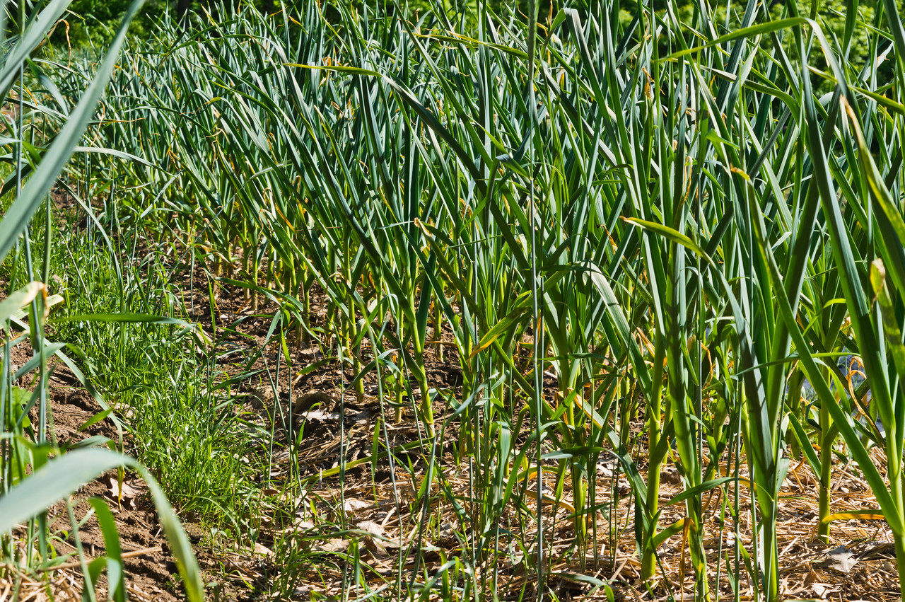 garlic looking good and disease free, but we would like to see much more heft to this at this time of year, photo by Adam Ford