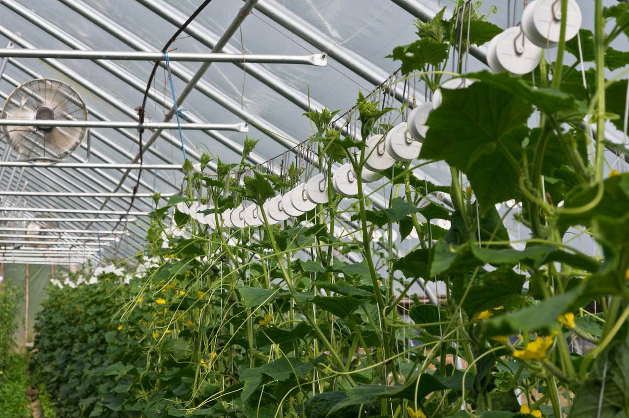 trellised cucumber plants: When they get this tall, we lower the plants by releasing the tension on those white roller hooks, the bottom of the plants start laying on the ground where the cucumbers have already been harvested from so the plant can keep growing vertically for more production, photo by Adam Ford