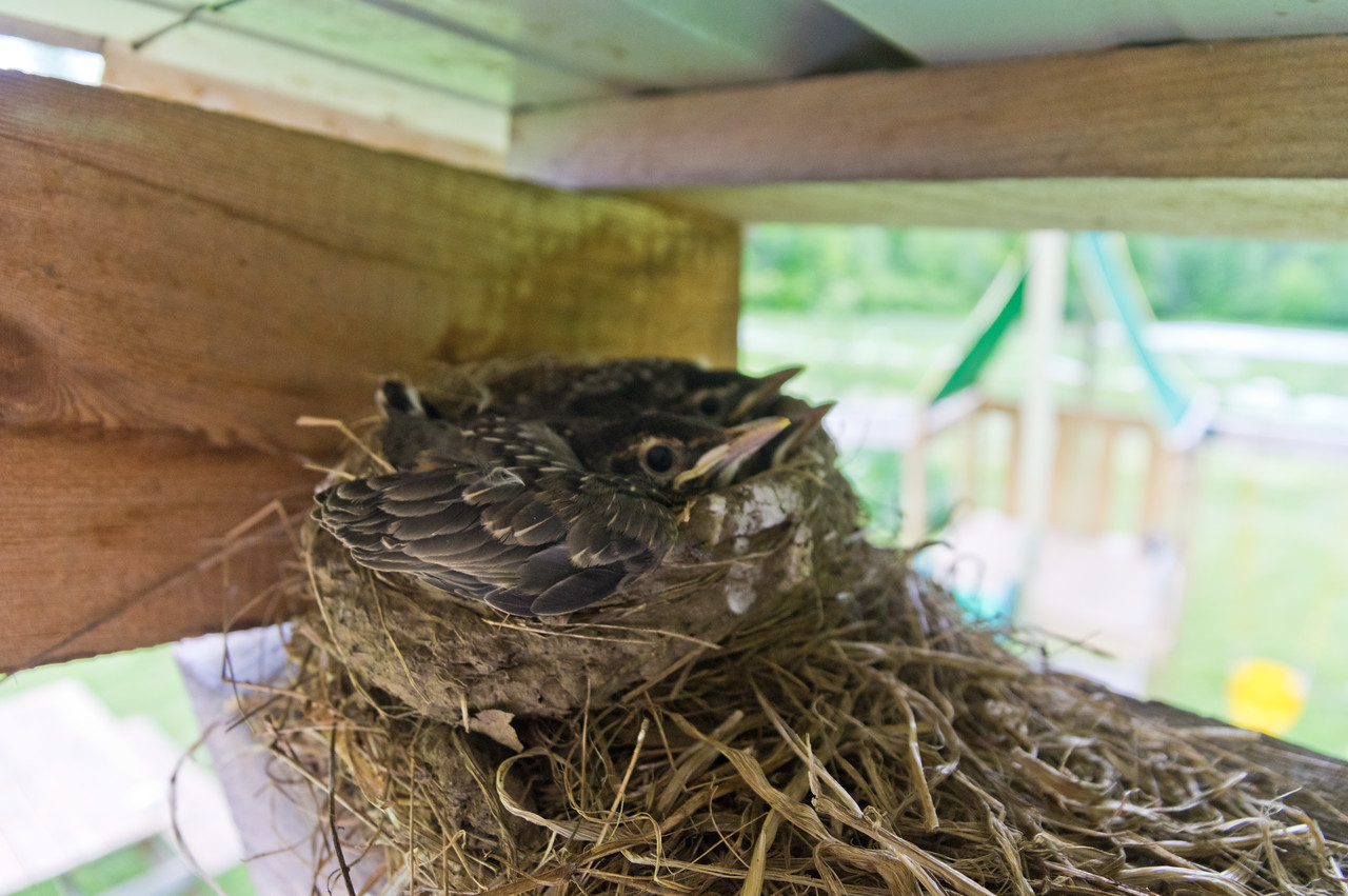 We have been delighting in watching a mama robin build a nest this spring, tend her eggs, hatch them, and in this shot they are about to fly! photo by Adam Ford
