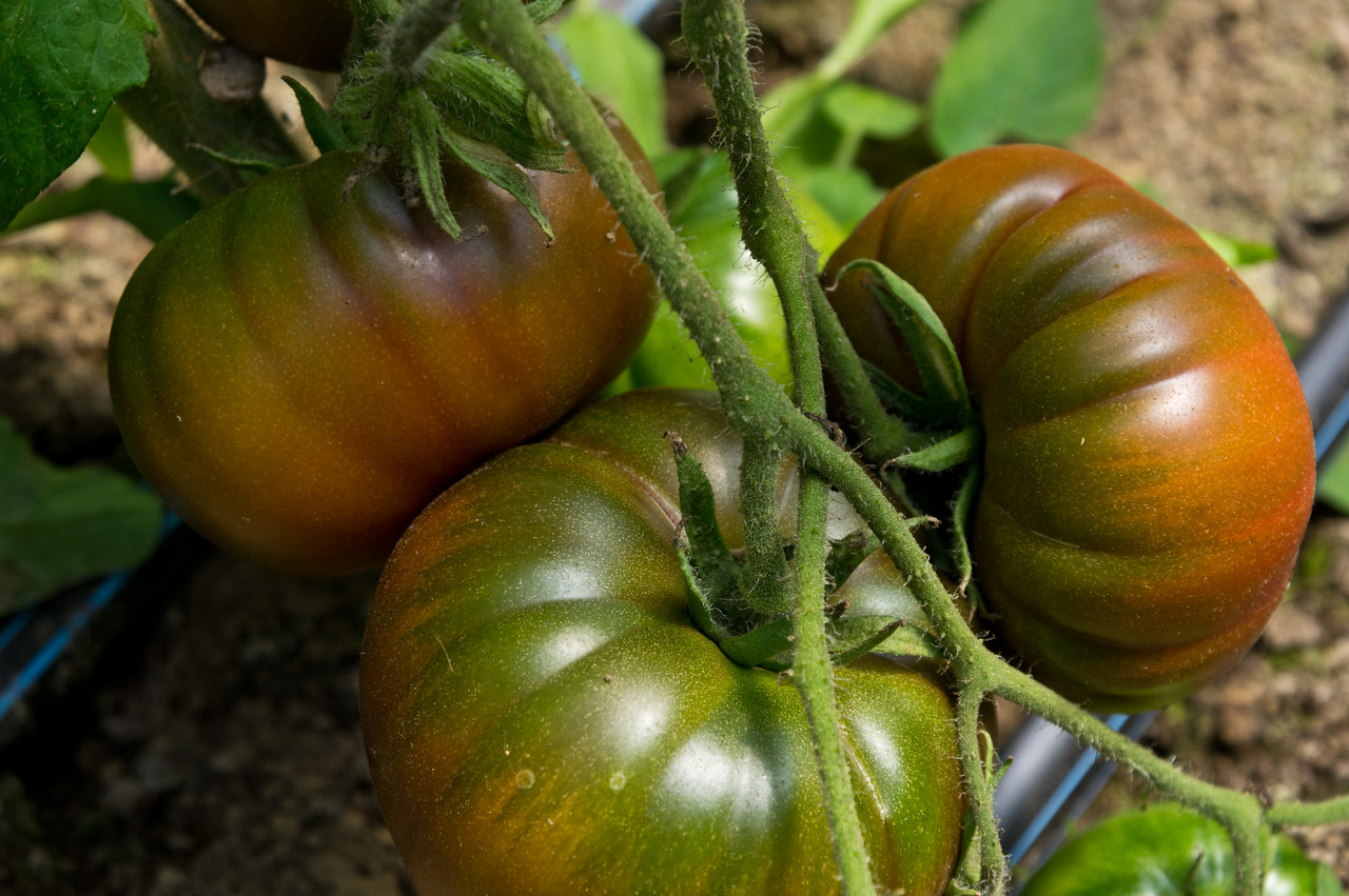 ripening maneros, a delicious french heirloom, photo by Adam Ford