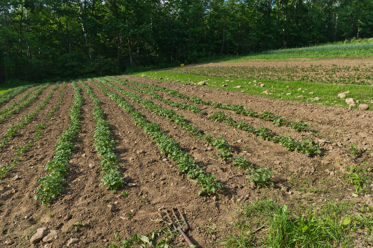the earliest potatoes we got in the ground are growing nicely and well weeded, thanks team! photo by Adam Ford