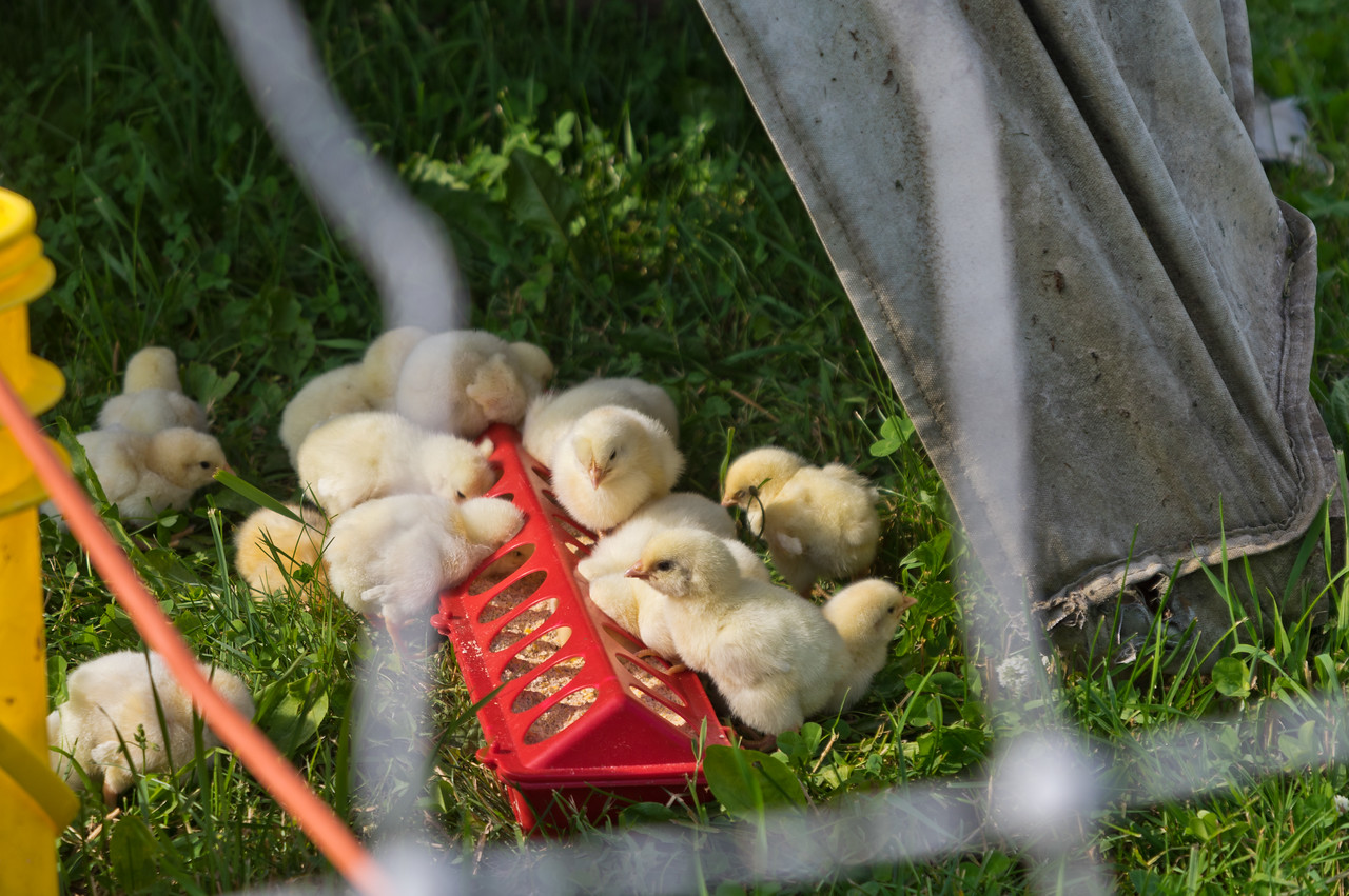 super cute baby chicks that Sky adores holding and gently hugging and patting with an adorable squeaky voice, photo by Adam Ford