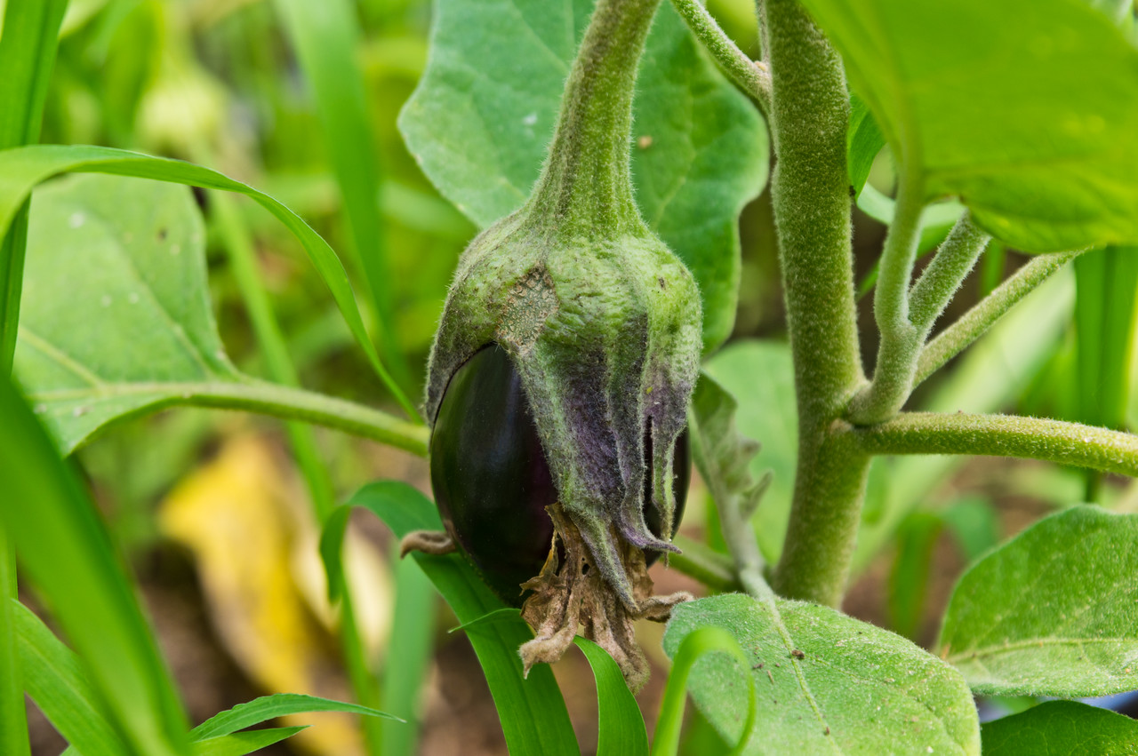 this is how far along eggplants are… maybe another couple weeks! photo by Adam Ford