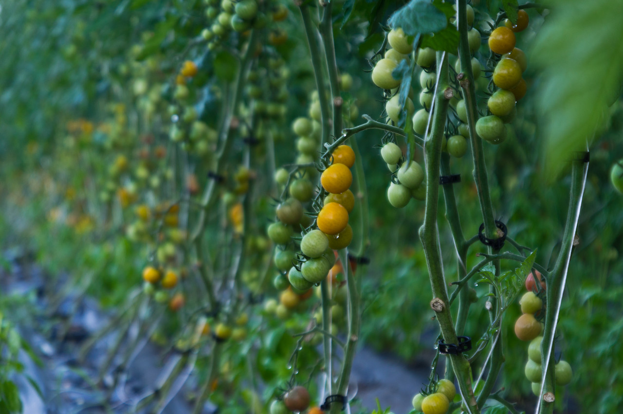 ripening cherry tomatoes, photo by Adam Ford