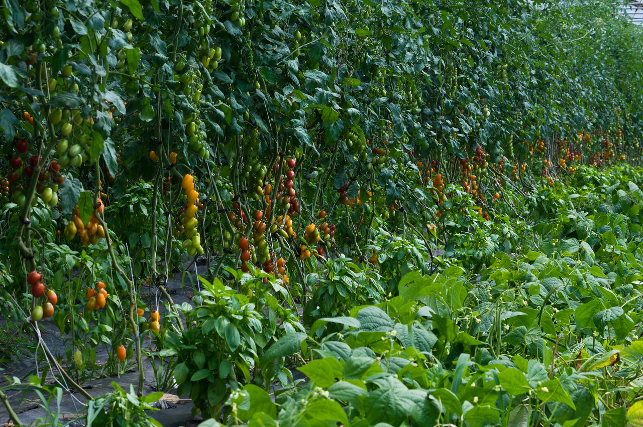 grape tomatoes, basil, and green beans in the tunnel, photo by Adam Ford