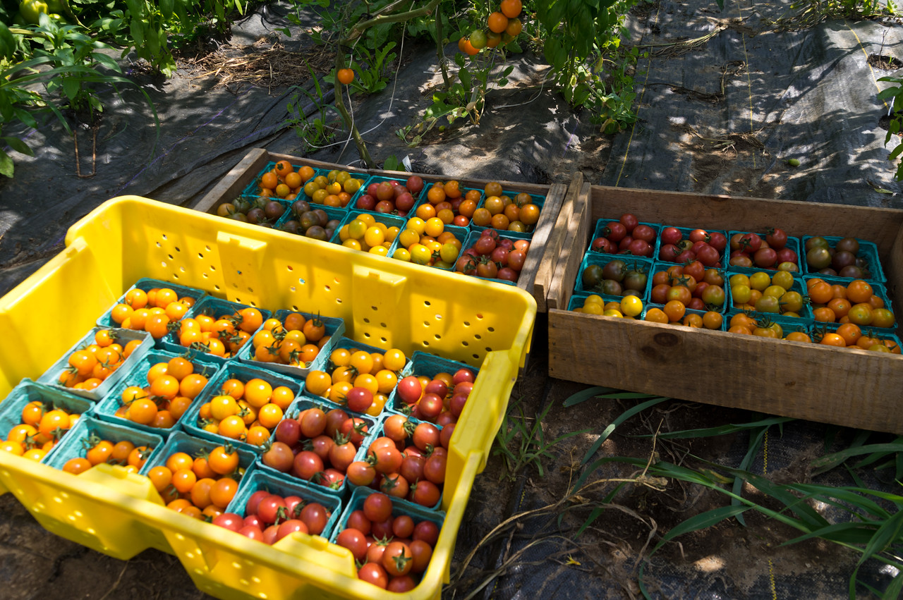 cherry tomato harvest happening now, photo by Adam Ford
