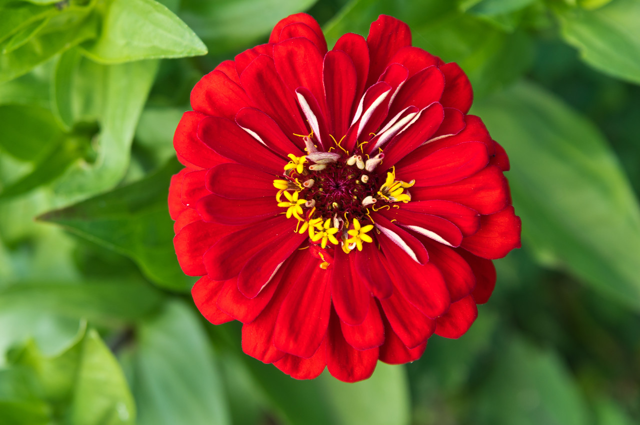 I love how zinnias have those mini yellow flowers inside the big flower, that is amazing art, photo by Adam Ford