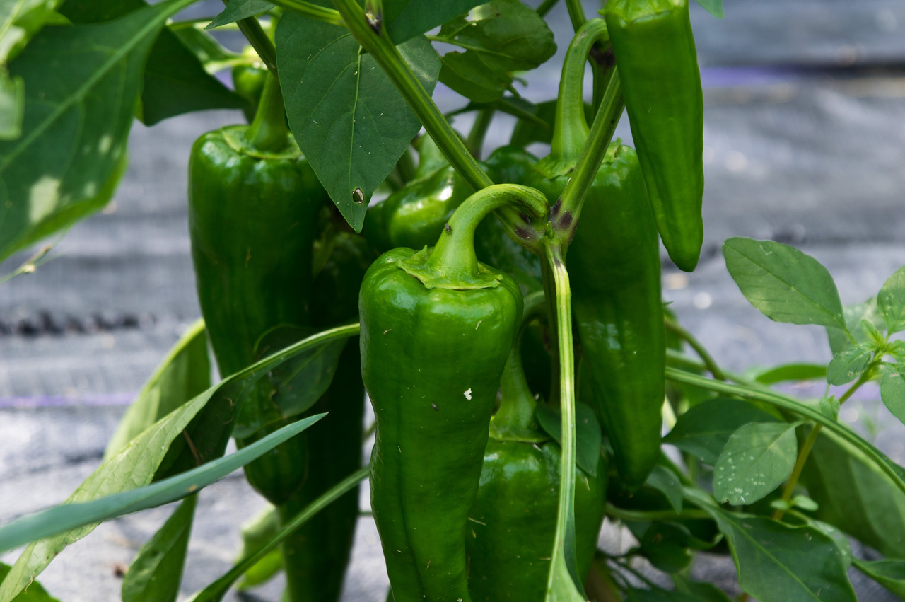 these long, green peppers are an Italian bull's horn type sweet pepper that is ready when it ripens to red… it's a popular variety named Carmen, and I LOVE when they are read, photo by Adam Ford
